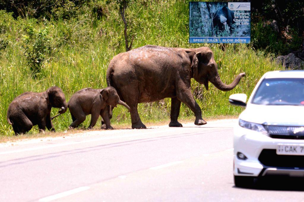 HABARANA, April 4, 2016 (Xinhua) -- Wild elephants cross the elephant pass on Colombo-Trincomalee road of Sri Lanka, April 4, 2016. Around 15 wild elephants were seen crossing the elephant pass on Colombo-Trincomalee road of Sri Lanka on Monday, head