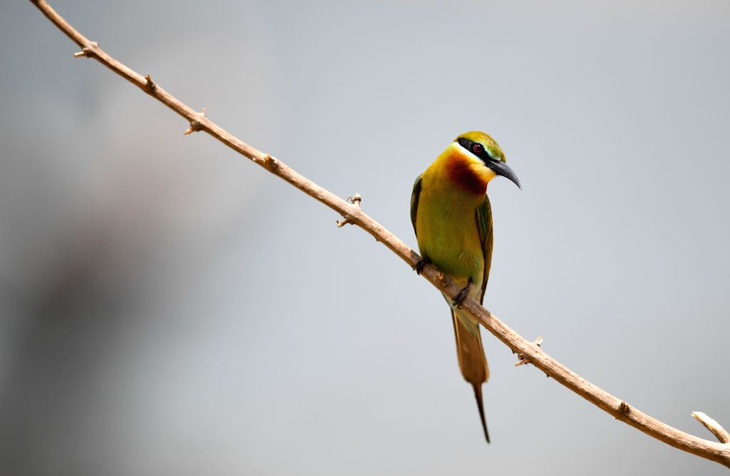 HAIKOU, May 15, 2019 - A blue-tailed bee eater is seen in Haikou, south China's Hainan Province, May 14, 2019. According to statistics from Haikou Duotan Wetlands Institute, nearly 200 blue-tailed ...