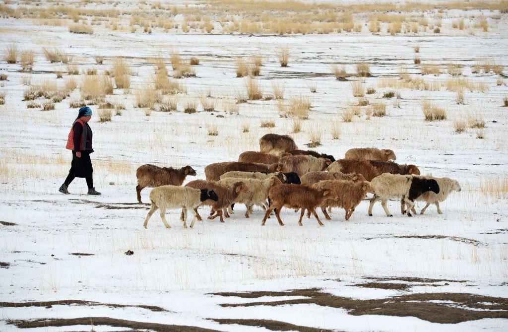 Sheep graze on the snow-covered Barkol Grassland in Hami, northwest China's Xinjiang Uygur Autonomous Region, April 15, 2014. The grassland on Tuesday saw a snowfall .