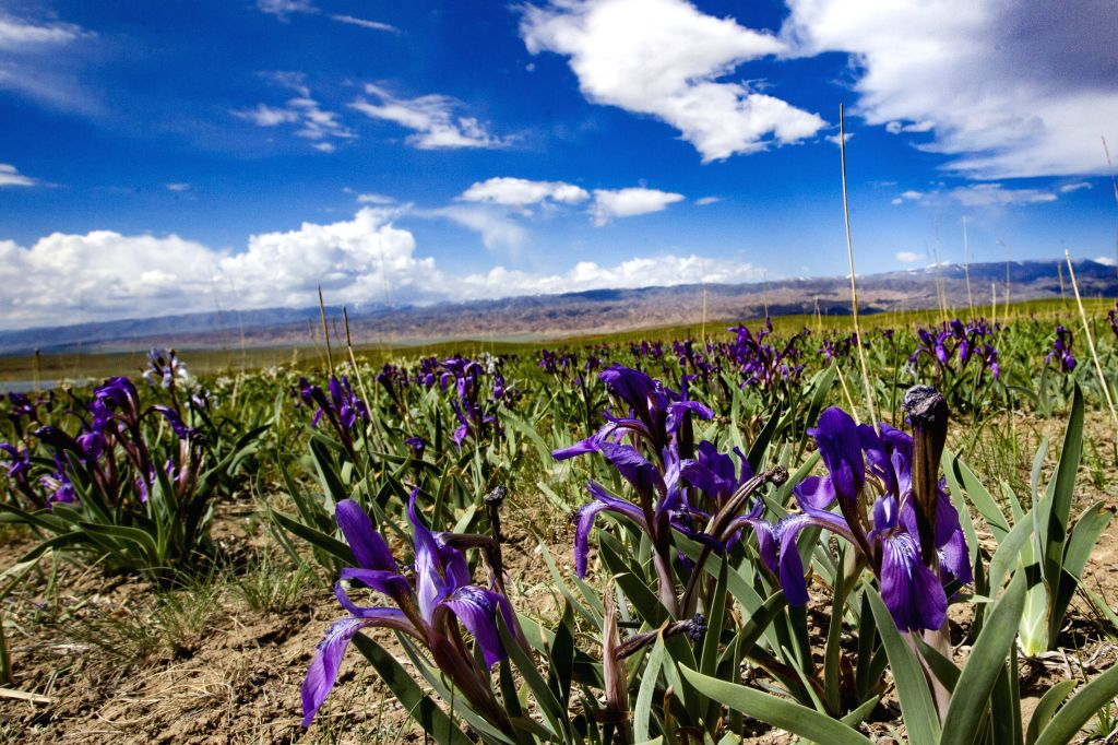 HAMI, May 30, 2017 - Flowers are seen at the Tianshan mountain scenic area in Hami, northwest China's Xinjiang Uygur Autonomous Region, May 29, 2017.