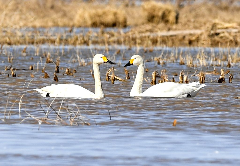 HANGJIN BANNER, April 3, 2019 - Swans are seen at a shoal of the Yellow River in Hangjin Banner, north China's Inner Mongolia Autonomous Region on April 2, 2019.