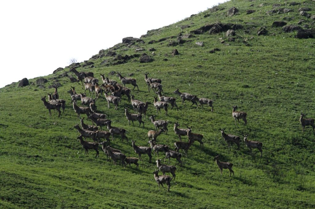 Hangul or the Indian elk found exclusively in the higher rises of the Kashmir Valley is said to be in the red zone. A senior wildlife warden who has spent over a decade looking after their population inside the Dachigam National Park on Friday said t