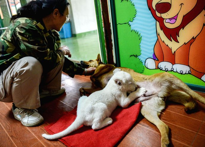 A lion feeder holds a two-month-old white lion at a wildlife park in Hangzhou, capital of east China's Zhejiang Province, April 21, 2014. The white lion cub was ..