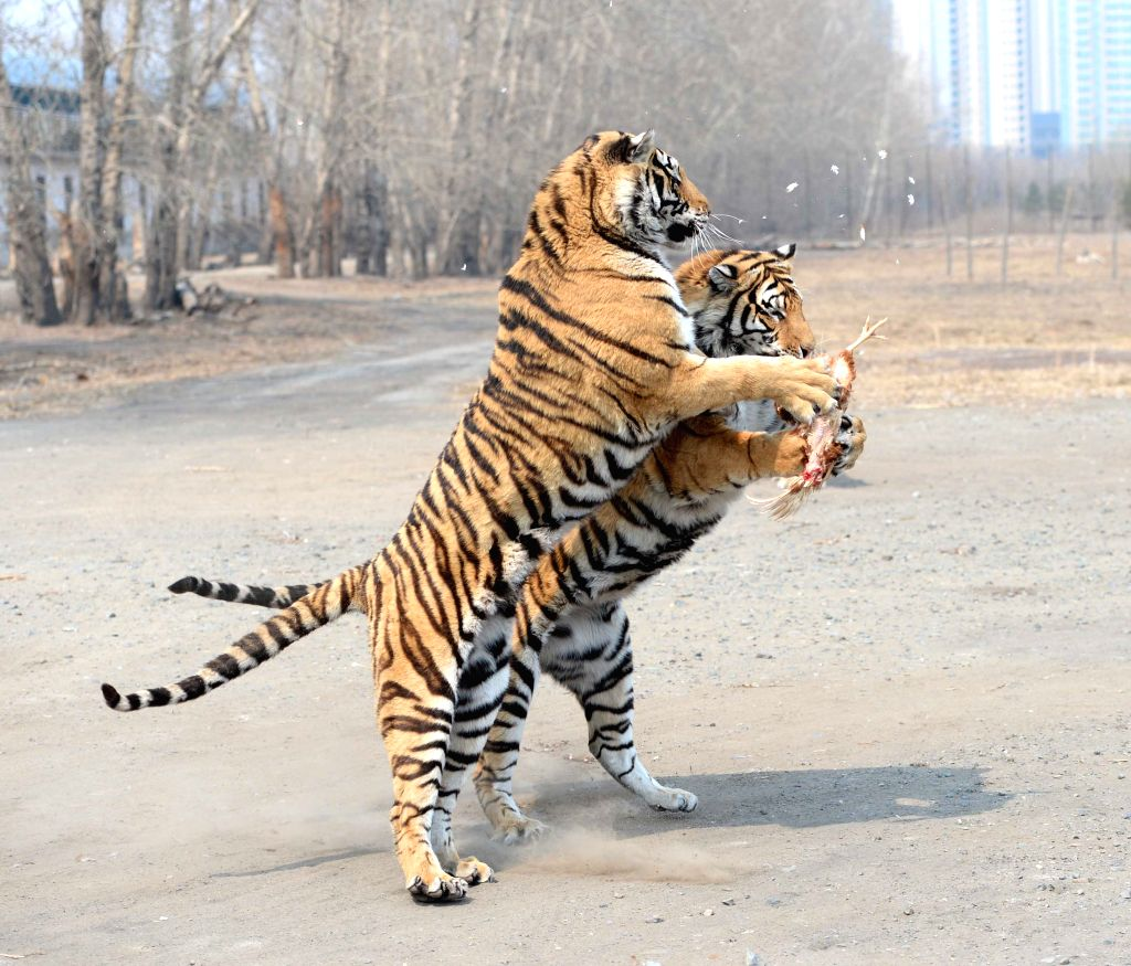 HARBIN, April 14, 2016 - Siberian tigers fight for chicken as food at a siberian tiger park in Harbin, capital of northeast China's Heilongjiang Province, April 14, 2016.