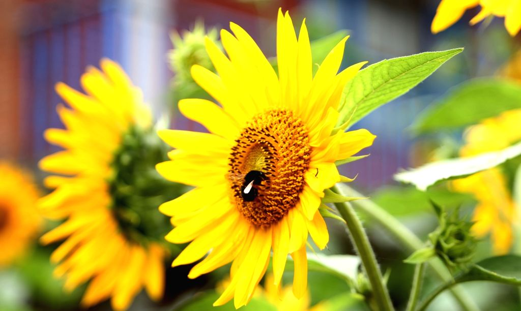 Haryana will procure 13,784 tonnes of sunflower at the minimum support price of Rs 5,650 per quintal and the procurement will start from June 5, Additional Chief Secretary Sanjeev Kaushal said on Tuesday. (Xinhua/Sunil Sharma/IANS) - Sunil Sharma