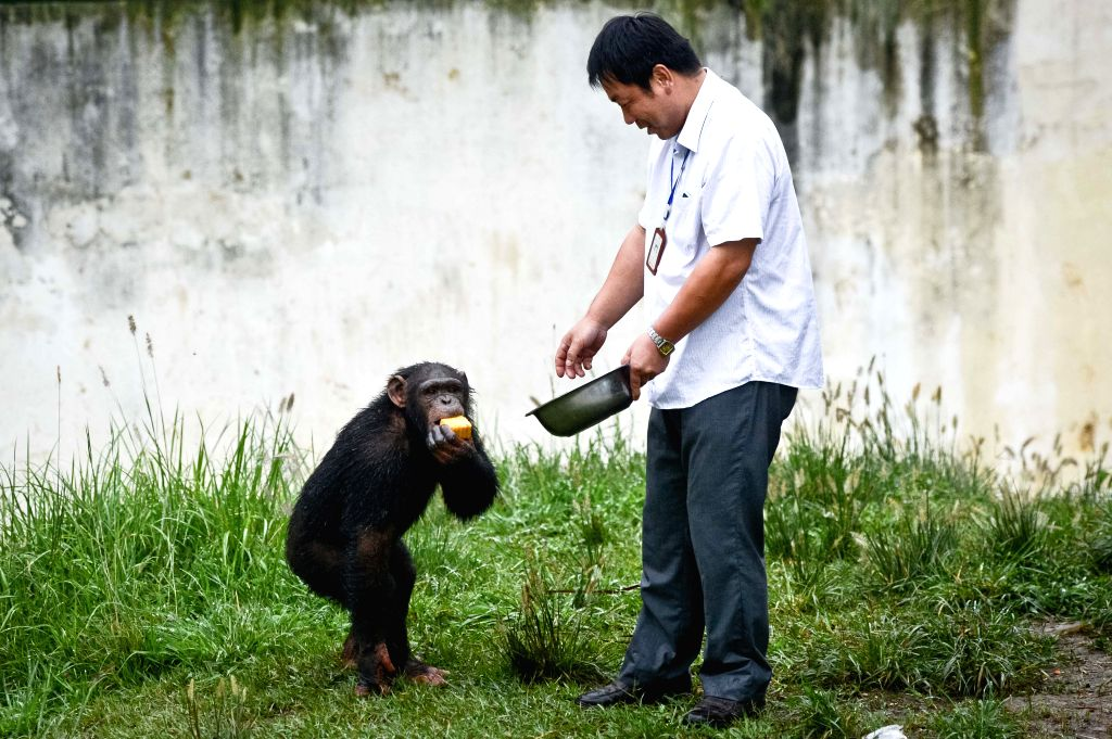 "A chimpanzee eats a ""moon cake"" in the wild animal zoo of Hefei, capital of east China's Anhui Province, Sept. 8, 2014. Chinese have the tradition of eating"