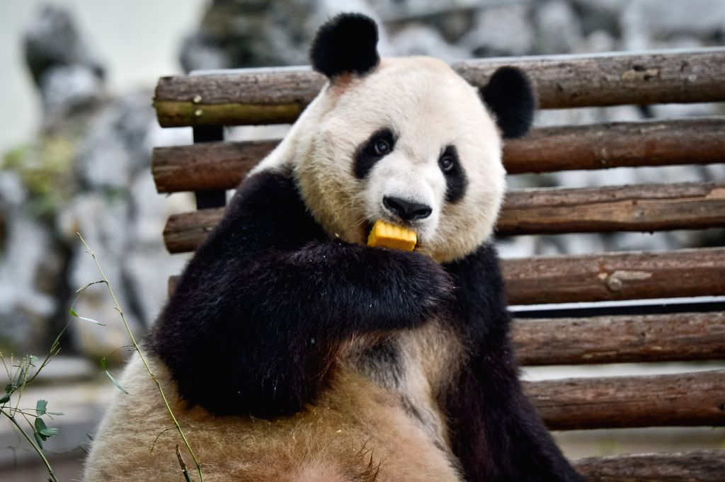 "Giant panda Liang Liang eats a ""moon cake"" in the wild animal zoo of Hefei, capital of east China's Anhui Province, Sept. 8, 2014. Chinese have the ..."