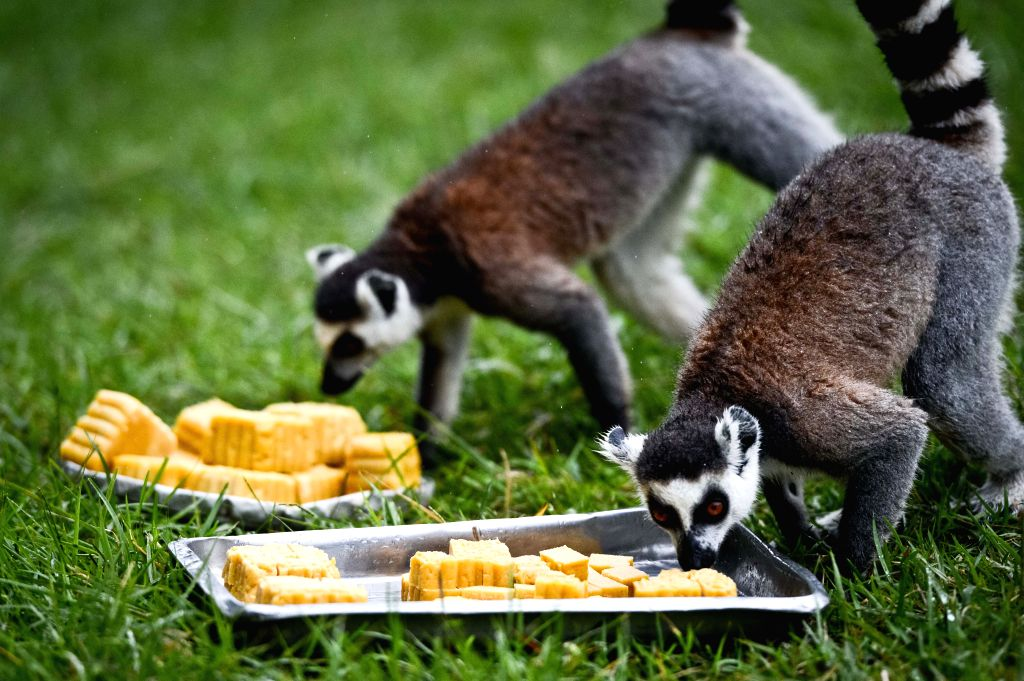 "Ring-tailed lemurs come to eat ""moon cakes"" in the wild animal zoo of Hefei, capital of east China's Anhui Province, Sept. 8, 2014. Chinese have the ..."
