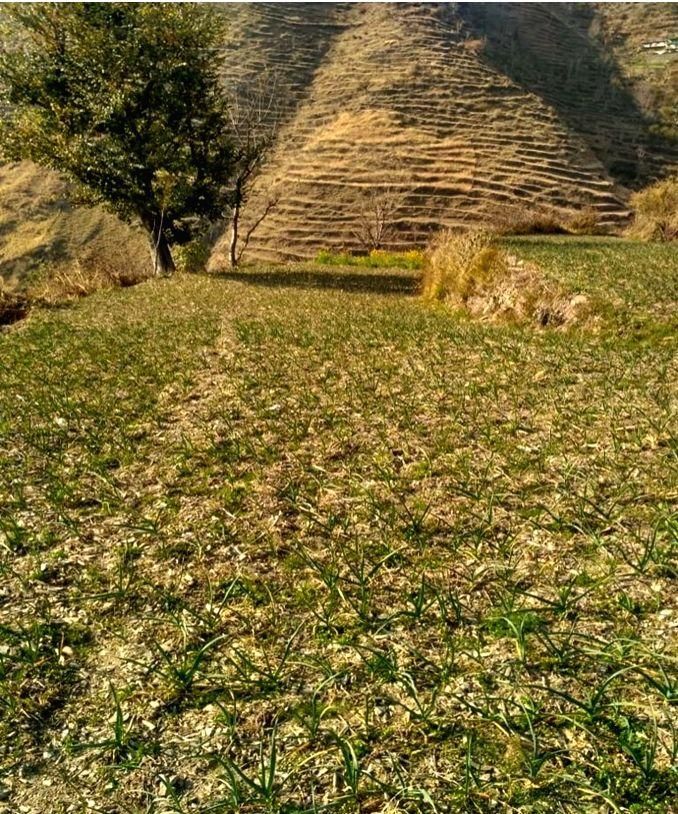 Himachal farmers turn garlic to cash crop