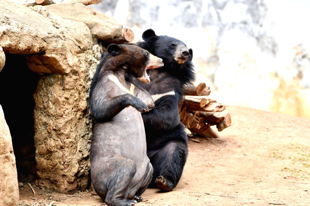 Himalayan Black Bears play inside their enclosure at Assam State Zoo Cum Botanical Garden in Guwahati, on April 4, 2019.