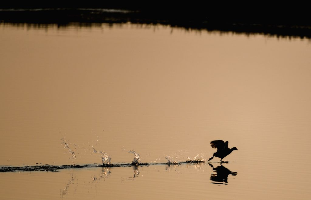 HOHHOT, Nov. 7, 2019 - A bird flits the surface of water at the Hasuhai wetland during sunset in Hohhot, north China's Inner Mongolia Autonomous Region, Nov. 6, 2019.