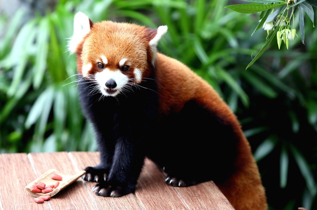 HONG KONG, May 29, 2016 - A red panda looks on in the Ocean Park in Hong Kong, south China, May 27, 2016. Together as ambassadors to inspire conservation awareness, giant pandas Ying Ying and Le Le ...