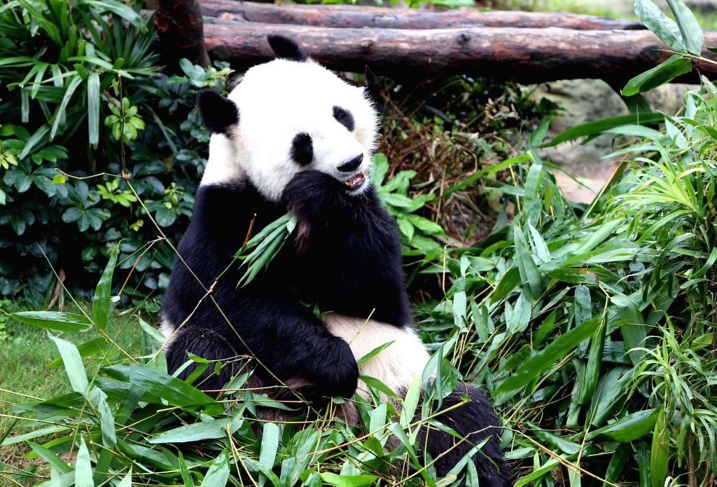HONG KONG, May 29, 2016 - Le Le the panda eats the bamboo in the Ocean Park in Hong Kong, south China, May 27, 2016. Together as ambassadors to inspire conservation awareness, giant pandas Ying Ying ...
