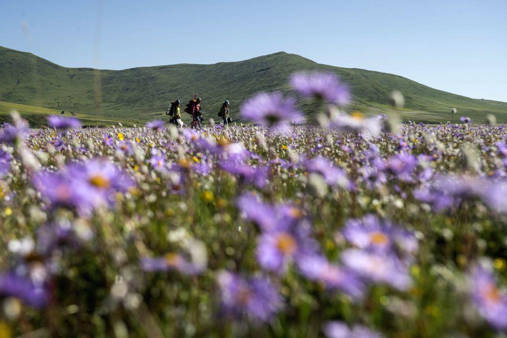 Tourists walk among flowers on the Emutang Pasture in Rangkou Township of Hongyuan County, southwest China's Sichuan Province, June 19, 2014.  (Xinhua/Jiang ...
