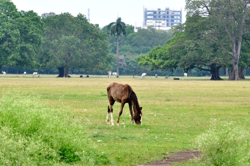 Horses busy grazing the lush green grass at the deserted Brigade Parade Ground in Kolkata the extended nationwide lockdown imposed to mitigate the spread of coronavirus; on Apr 22, 2020.
