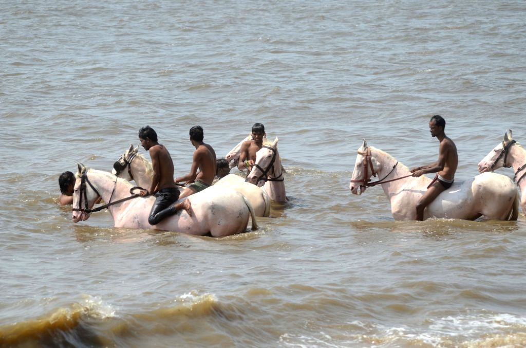 Horses take bath at Dadar beach on a hot day in Mumbai on May 15, 2017.