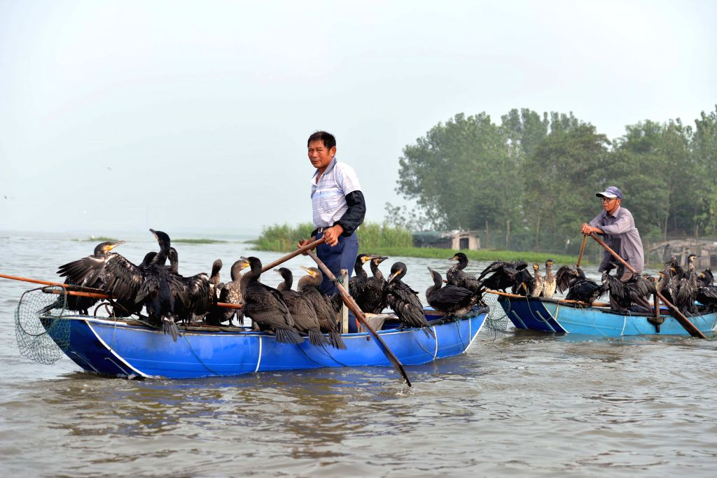 HUAI'Fishermen catch fish with cormorants on Baima Lake in Hongze County, east China's Jiangsu Province, July 28, 2014. Fishing with tamed cormorants is a traditional ...