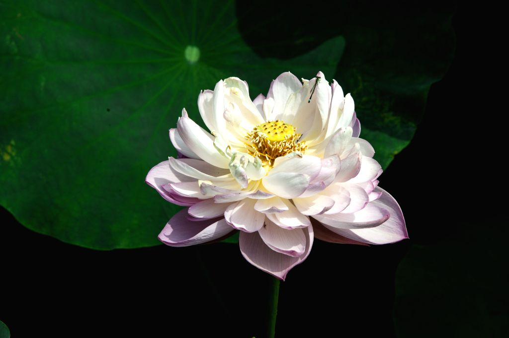 HUAI'Photo taken on July 8, 2014 shows lotus flowers during the 28th National Lotus Flowers Exhibition at Jinhu County in Huai'an, east China's Jiangsu Province. ...