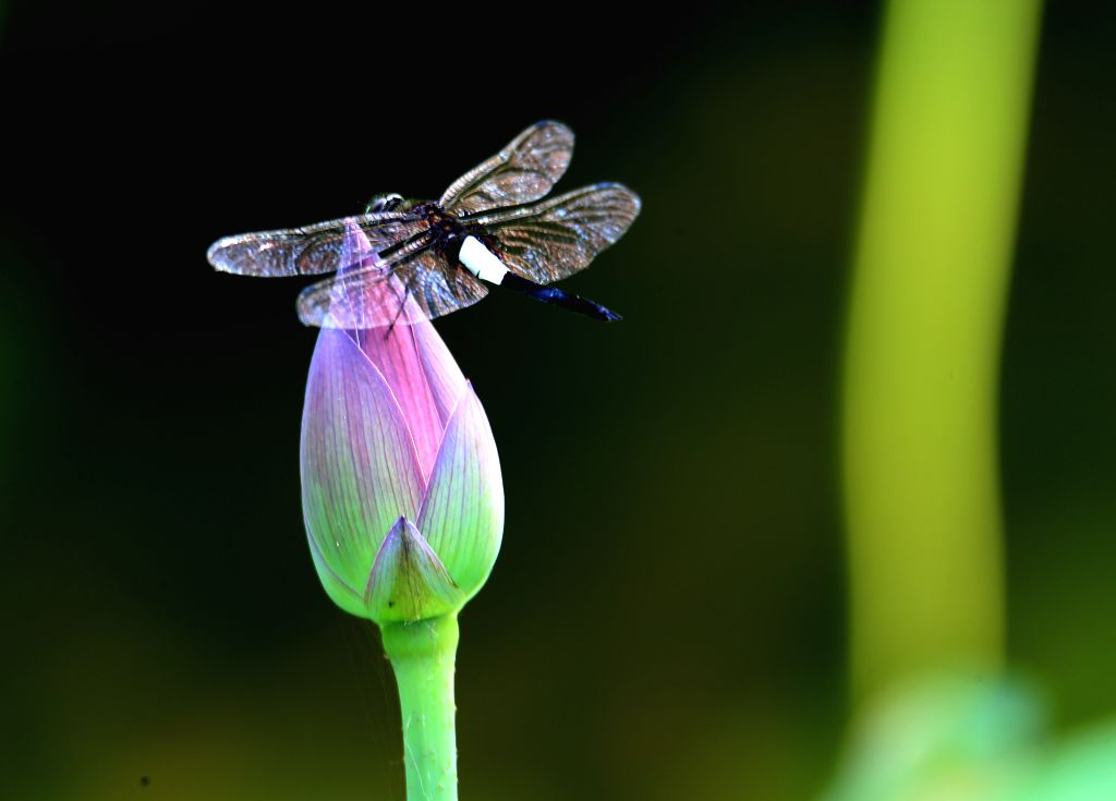 HUANGSHAN, June 1, 2019 - A dragonfly perches on a lotus flower at the Geshan scenic spot in Tunxi, Huangshan City, east China's Anhui Province, on May 31, 2019.