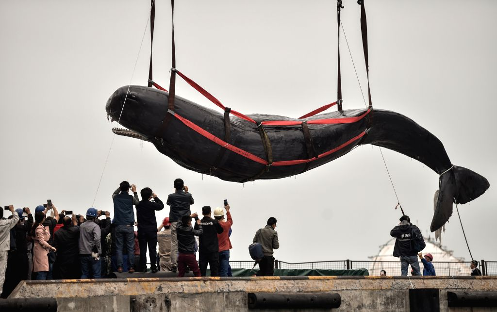HUIZHOU, March 15, 2017 - The corpse of a stranded sperm whale is lifted at a dock in Huizhou Harbor in Huizhou, south China's Guangdong Province, March 15, 2017. On the morning of March 12, the ...