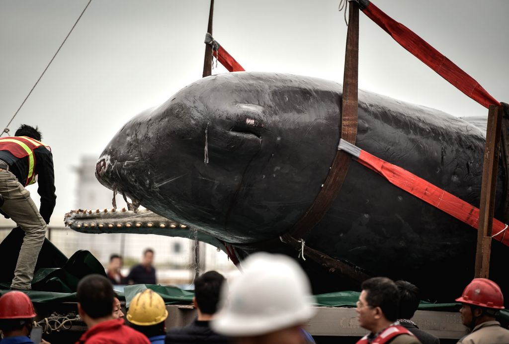 HUIZHOU, March 15, 2017 - The corpse of a stranded sperm whale is placed on a truck in Huizhou, south China's Guangdong Province, March 15, 2017. On the morning of March 12, the 12-meter-long whale ...