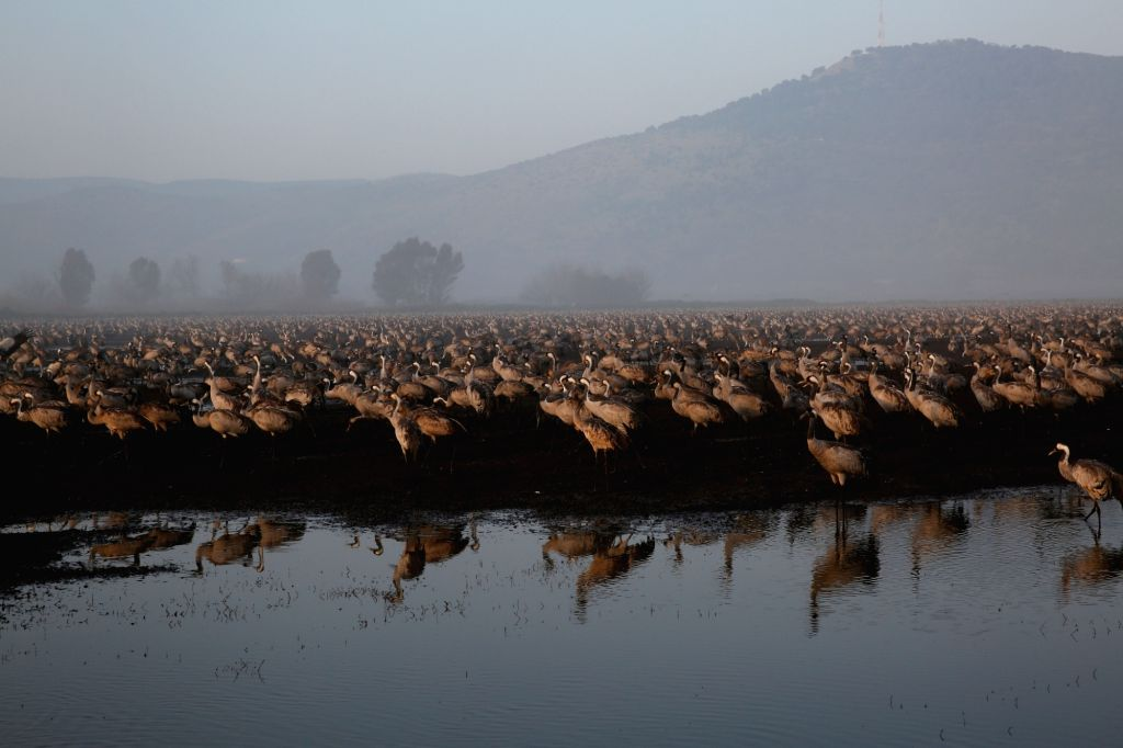 HULA VALLEY, Feb. 22, 2019 - Gray cranes flock in the Agamon Hula Lake in the Hula Valley in northern Israel, on Feb. 21, 2019. Some 50,000 gray cranes stayed this winter in the Agamon Hula Lake ...