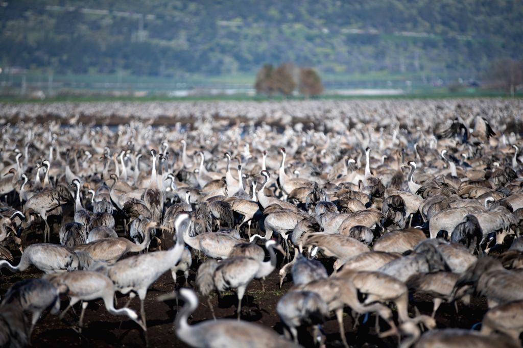 HULA VALLEY, March 9, 2019 - A flock of Grus grus are seen within the Agamon Hula Ornithology and Nature Park in northern Israel, on March 8, 2019. Every year, hundreds of millions of wintering birds ...