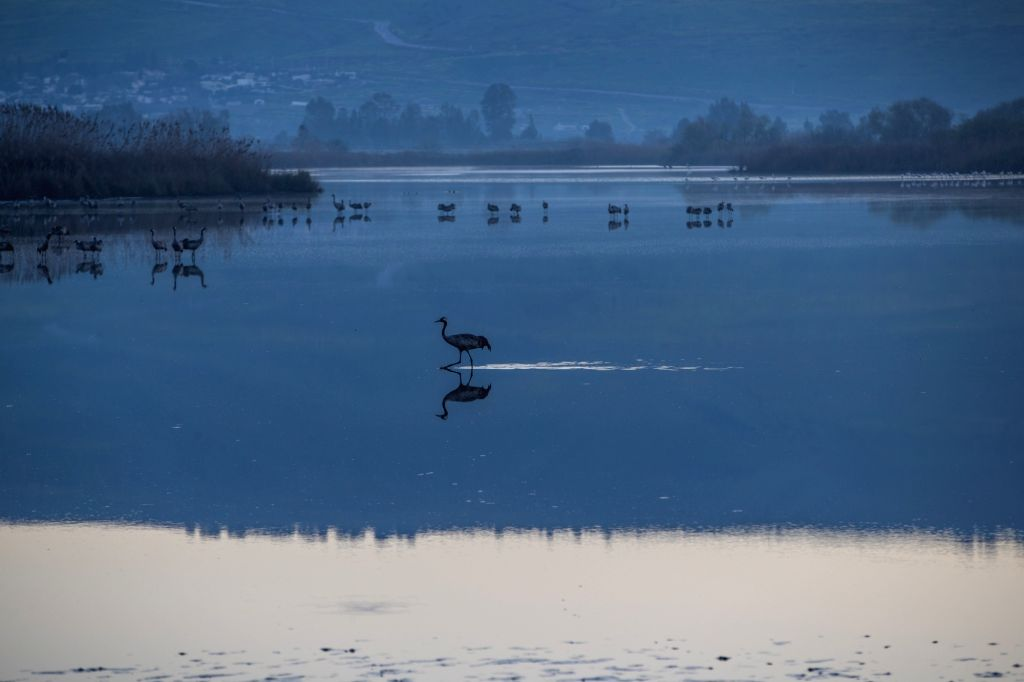 HULA VALLEY, March 9, 2019 - Grus grus are seen within the Agamon Hula Ornithology and Nature Park in northern Israel, on March 8, 2019. Every year, hundreds of millions of wintering birds migrate ...