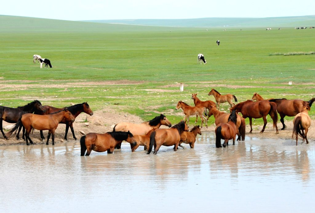 Horses drink on the grassland of Hulun Buir, north China's Inner Mongolia Autonomous Region, June 16, 2014. Grass has been flourishing in Hunlun Buir due to ...