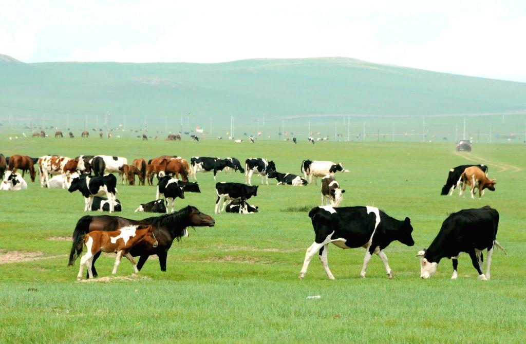 The livestock graze on the grassland of Hulun Buir, north China's Inner Mongolia Autonomous Region, June 16, 2014. Grass has been flourishing in Hunlun Buir due .