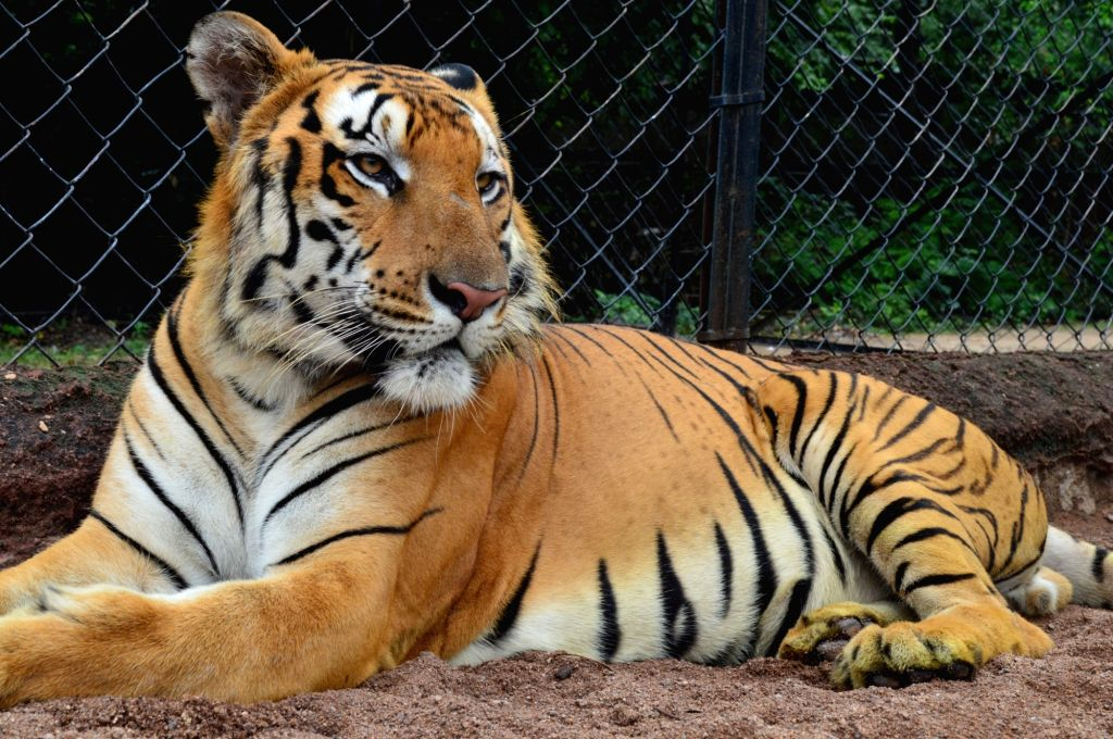 Hyderabad: 11-year-old male tiger named Kadamba died of heart failure at Nehru Zoological Park (NZP) on the night of July 4, 2020. As per the post-mortem report, the cause of death of the animal was shock due to congestive heart failure. Kadamba was
