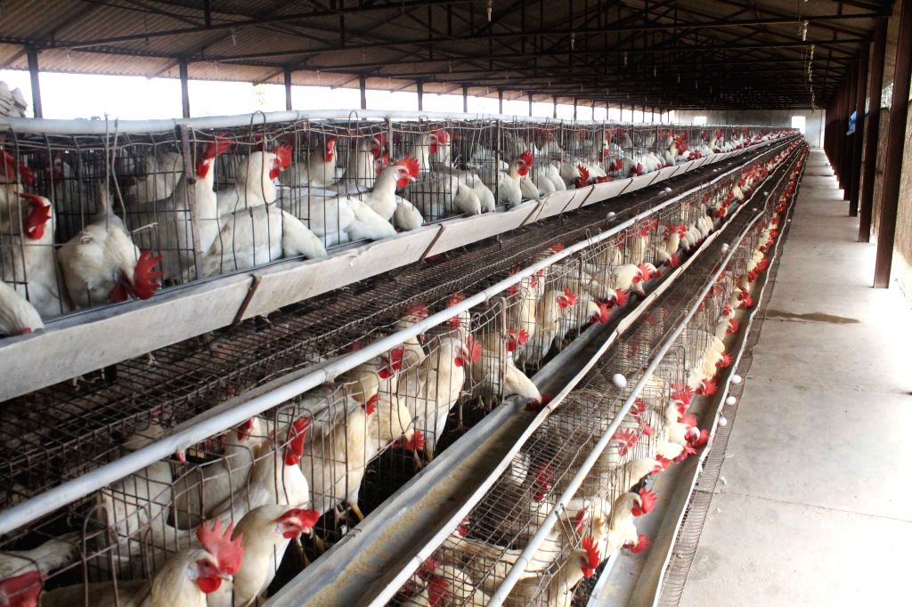 A view of a poultry farm in Hyderabad.
