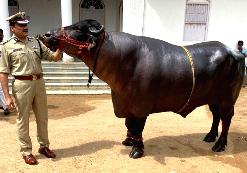 Hyderabad Police Commissioner Anjani Kumar with a buffalo during Sadar - the annual buffalo carnival celebrated by the Yadav community - in Hyderabad on Oct 29, 2019.