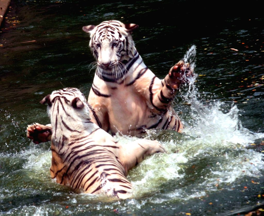 Hyderabad: Tigers playing in water inside their enclosure at the Nehru Zoological Park in Hyderabad on Apr 6, 2020. With a tiger at a New York Zoo testing positive for Covid-19, the Nehru Zoological Park (NZP), one of the largest zoos in the country,
