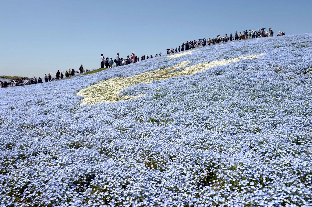 People walk on a hill covered with nemophila menziesii flowers, also known as baby blue eyes, in full bloom at Hitachi Seaside Park in Hitachinaka, Ibaraki ...
