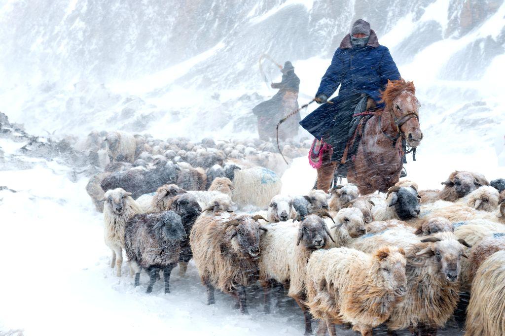 A herdsman drives sheep on a snow-covered path in Ili Kazak Autonomous Prefecture, northwest China's Xinjiang Uygur Autonomous Region, March 12, 2015. Herdsmen in Ili ...