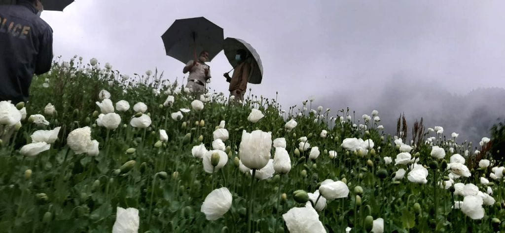 In 17-hour-long operation, 15 lakh poppy plants seized in Himachal.