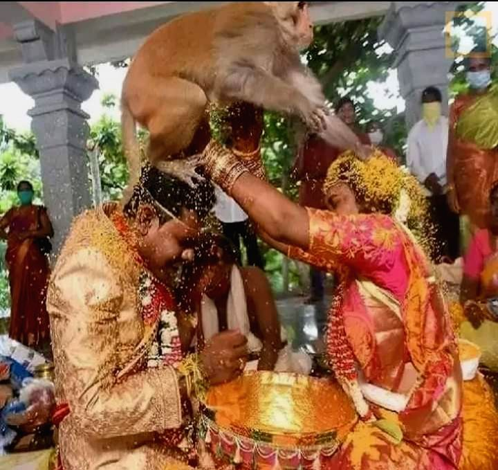 In a bizarre incident, a monkey jumped on the heads of the bride and the groom while they were performing rituals during their wedding at the Narasimhaswamy Temple at Mangapet village in ...