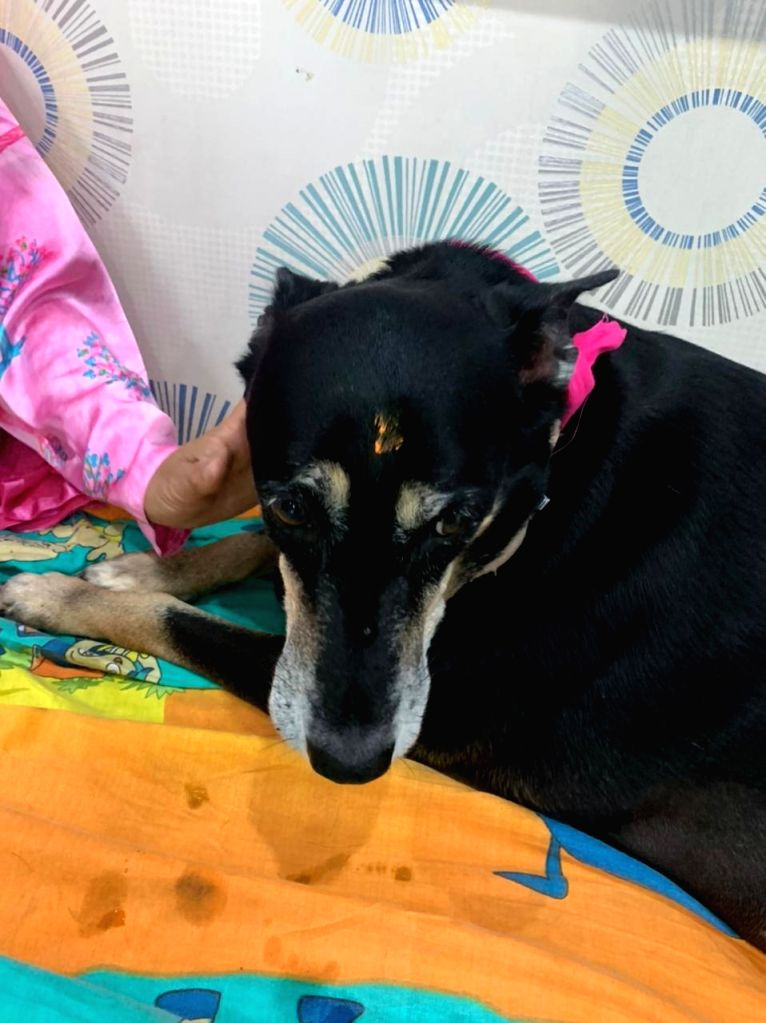 India first: Maha obese dog undergoes 'weight-loss' surgery!.