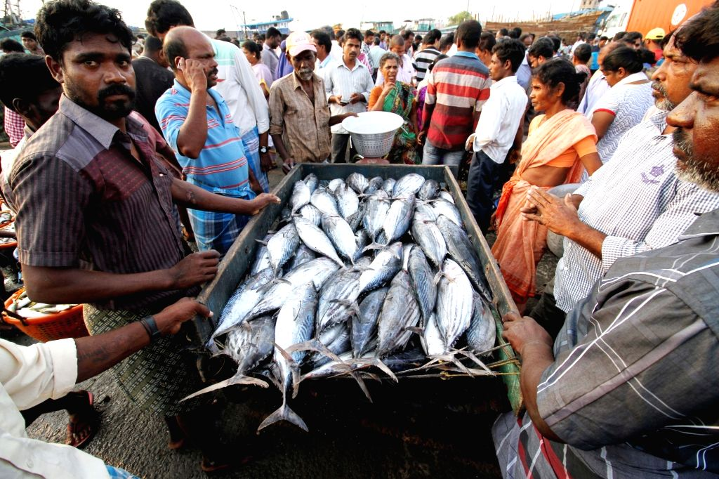 Indian fishermen return back with their catch at Chennai port as 45-day long ban on fishing by mechanised vessels comes into force on June 5, 2016.