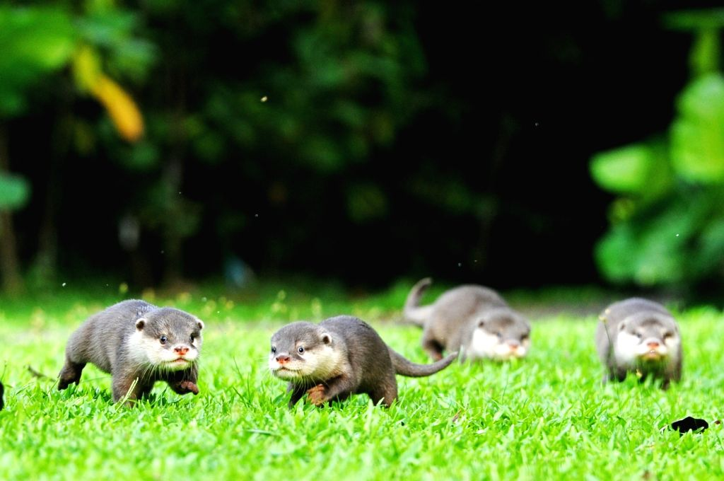 INGAPORE, May 30, 2017 - Four hand-fed Asian small-clawed otter babies run on the ground of the Singapore Zoo on May 30, 2017. Those otter babies, abandoned by their parents since their birth, have ...