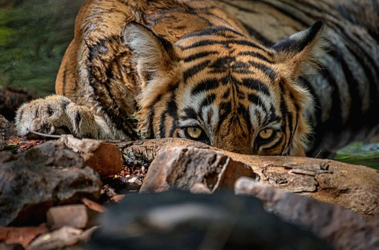 International Tiger Day: the Indian Bengal Tiger roars to glory.(photo:IN)