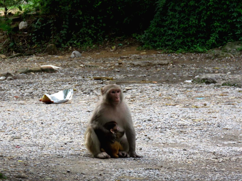 ISLAMABAD, Aug. 2, 2019 - Photo taken on Aug. 1, 2019 shows a monkey with her baby on a road in Islamabad, capital of Pakistan.