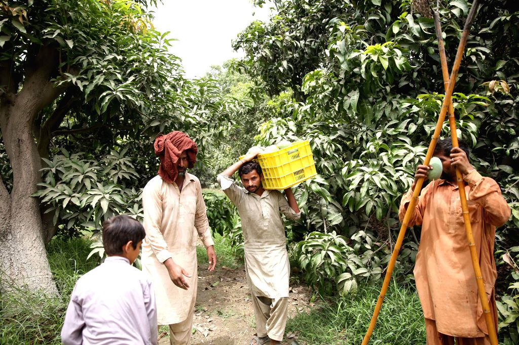 ISLAMABAD, Aug. 6, 2019 - Pakistani workers harvest mangoes at an orchard in Vehari in Pakistan's Punjab province on July 15, 2019. Pakistan is a major producer of the world's best and most popular ...