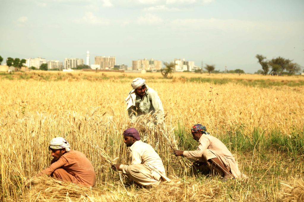 ISLAMABAD, May 2, 2019 - Farmers harvest wheat crops on the outskirts of Islamabad, capital of Pakistan, May 1, 2019. Wheat harvest season has started as temperature rises in Pakistan.