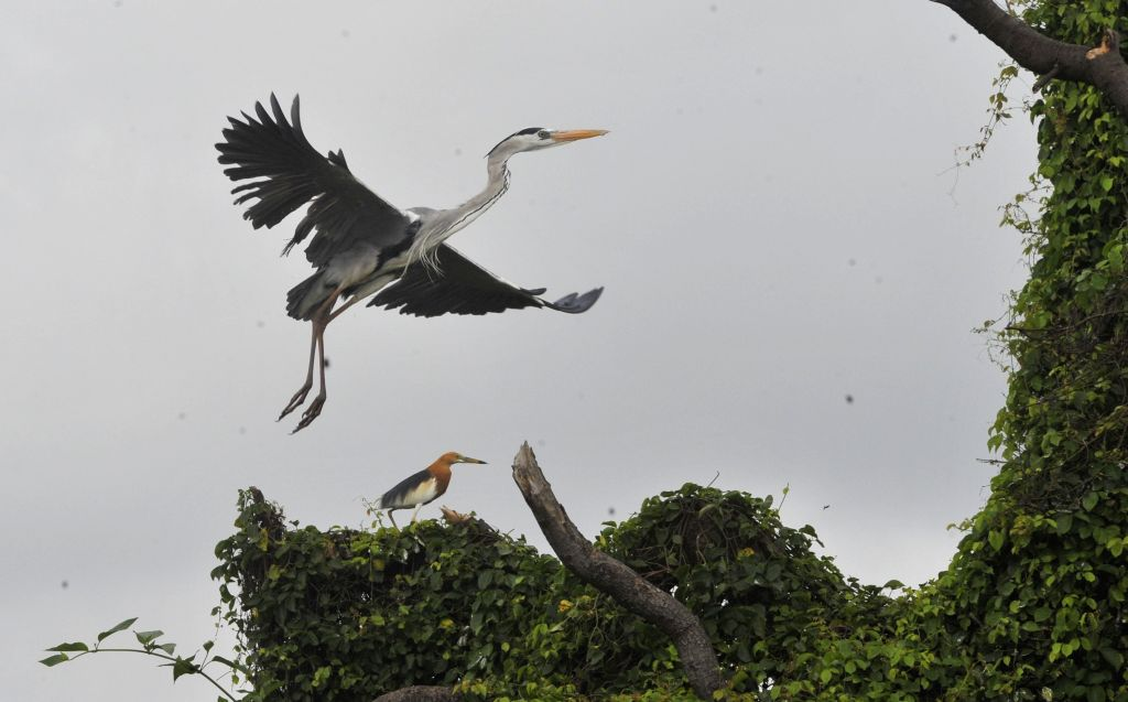 JAKARTA, Jan. 26, 2019 - Grey herons are seen at Muara Angke mangrove forest and wildlife sanctuary during activities of the Asian Waterbird Census programme arranged by Jakarta Birdwatcher's Society ...
