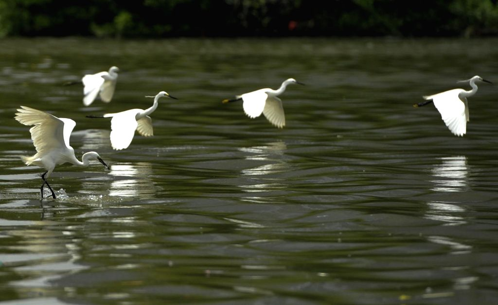 JAKARTA, Jan. 26, 2019 - White egrets are seen at Muara Angke mangrove forest and wildlife sanctuary during activities of the Asian Waterbird Census programme arranged by Jakarta Birdwatcher's ...