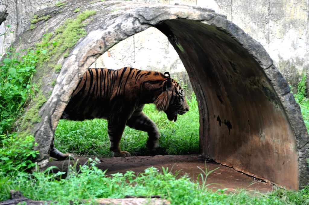 JAKARTA, July 28, 2016 - Photo taken on July 28, 2016 shows a Sumatran tiger walks in a cage at the Ragunan Zoo in Jakarta, Indonesia. International Tiger Day is celebrated annually on July 29, ...