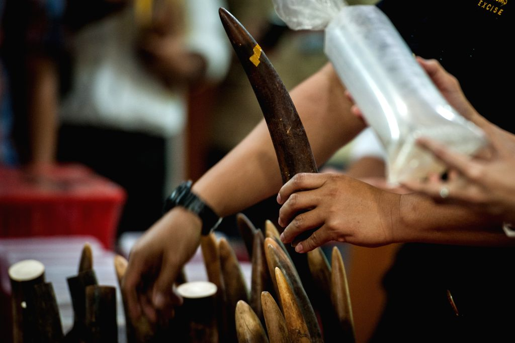 JAKARTA, May 26, 2016 - An officer shows confiscated ivory during a press conference of ivory smuggling from Nigeria at Soekarno-Hatta International Airport, Jakarta, Indonesia, May 26, 2016. As many ...