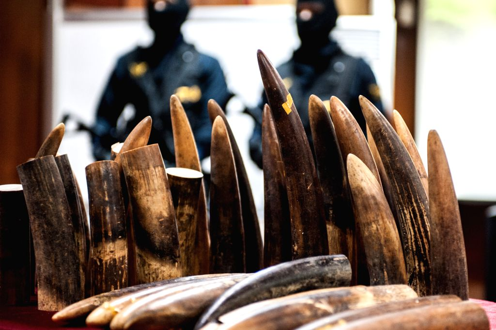 JAKARTA, May 26, 2016 - Photo taken on May 26, 2016 shows confiscated ivory during a press conference of ivory smuggling from Nigeria at Soekarno-Hatta International Airport, Jakarta, Indonesia. As ...